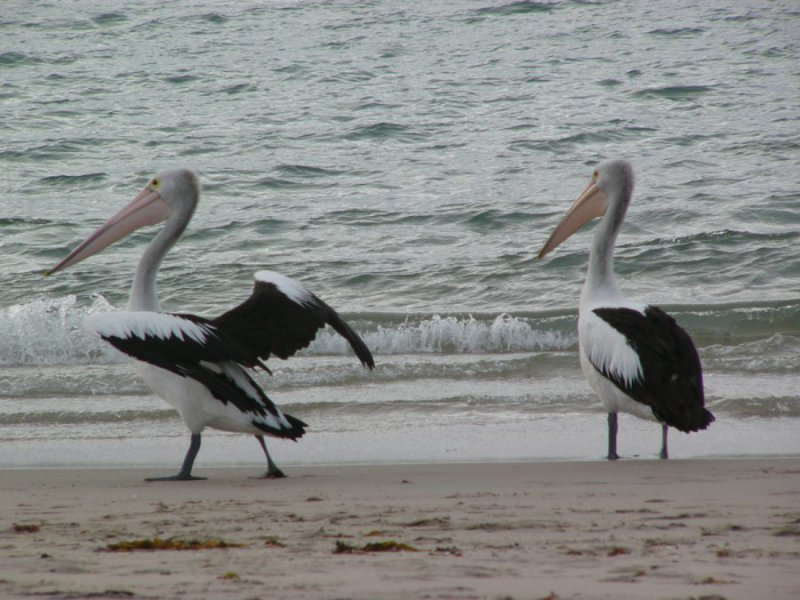 Pelicans-Kalbarri - WA Experts