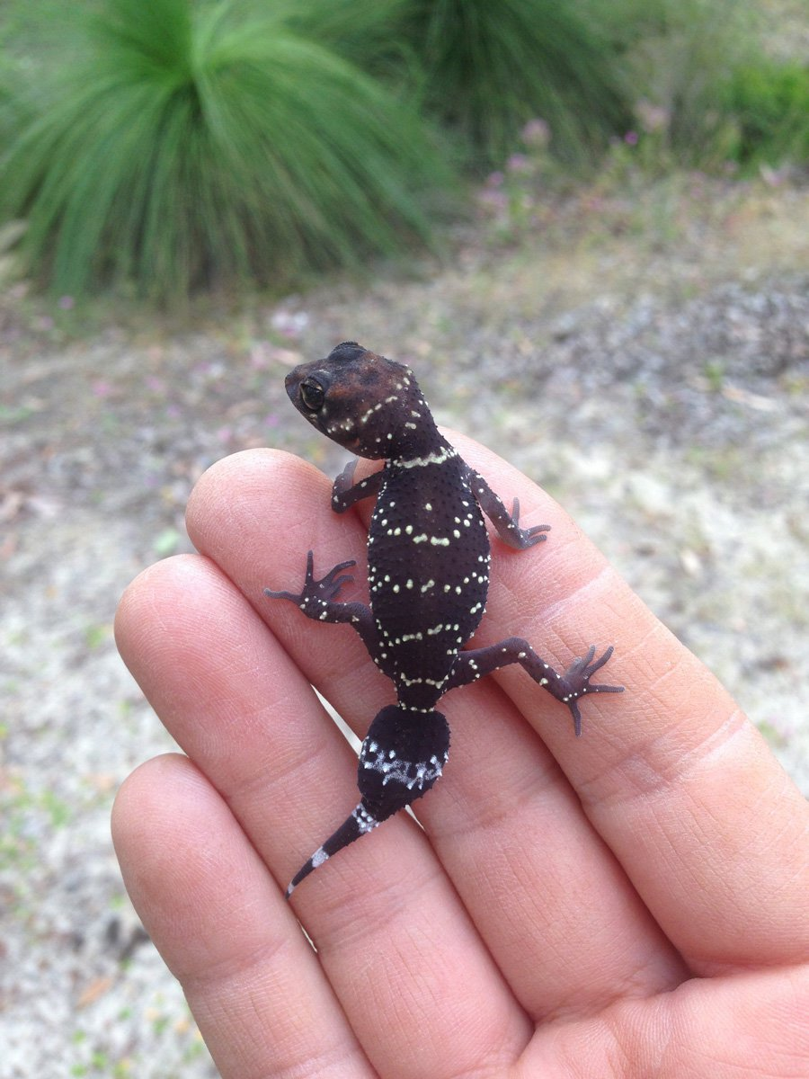 Lizard-Barking-Gecko - WA Experts